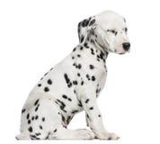 Boczny widok Dalmatyński szczeniaka obsiadanie odizolowywający, męczący, Zdjęcie Stock