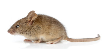 Boczny widok domowa mysz (Mus musculus)