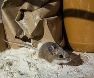 Boczny widok dzika brown domowa mysz, Mus musculus pozycja w rozsypisku mąka w kuchennym gabinecie Obrazy Royalty Free