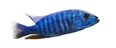 Boczny widok Elektryczny Błękitny Hap, Sciaenochromis ahli, odizolowywający Fotografia Royalty Free