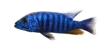 Boczny widok Elektryczny Błękitny Hap, Sciaenochromis ahli, odizolowywający Fotografia Stock