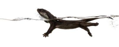 Boczny widok Europejski wydrowy dopłynięcie przy powierzchnią wa obraz stock