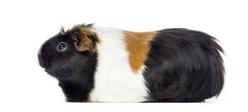 Boczny widok królik doświadczalny, Cavia porcellus, odizolowywający Obraz Royalty Free