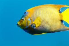 Boczny widok królowej Angelfish holacanthus ciliaris Obrazy Royalty Free