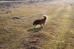 Boczny widok kundlowaty psi bieg przez łąki Fotografia Stock