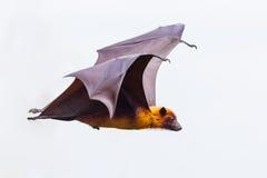 Boczny widok latającej samiec Lyle latający lis Obrazy Royalty Free