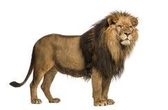 Boczny widok lew pozycja, Panthera Leo, 10 lat Obraz Stock