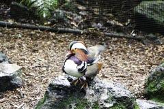 Boczny widok mandaryn kaczka na skale w tęcz wiosen parku w Północnej wyspie Rotorua, Nowa Zelandia obraz royalty free