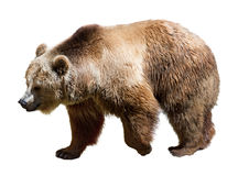 Boczny widok niedźwiedź Odizolowywający nad bielem Fotografia Royalty Free
