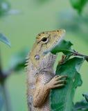 Boczny widok orientała ogródu jaszczurki obwieszenie (Calotes mystaceus) Zdjęcia Stock