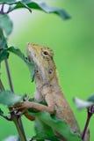 Boczny widok orientała ogródu jaszczurki obwieszenie (Calotes mystaceus) Obraz Royalty Free