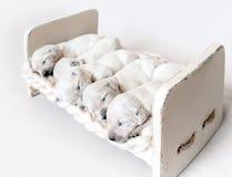 Boczny widok pięć golden retriever szczeniaków śliczny nowonarodzony spać obrazy royalty free