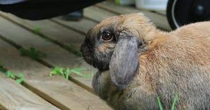 Boczny widok Piękny Brown głowy królika królik zbiory wideo