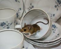 Boczny widok poruszająca brown domowa mysz z kędzierzawym ogonem w herbacianej filiżance Naczynia w tle są błękitni i biali Fotografia Stock