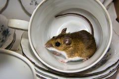 Boczny widok poruszająca brown domowa mysz z kędzierzawym ogonem w herbacianej filiżance Naczynia w tle są błękitni i biali Fotografia Royalty Free