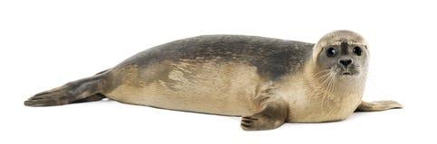 Boczny widok Pospolitej foki lying on the beach, patrzeje kamerę zdjęcia royalty free