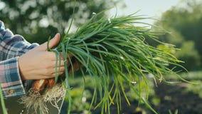 Boczny widok A rolnik trzyma fistful zielone cebule ?wiezi warzywa ?wiezi od pola zbiory wideo