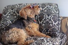 Boczny widok snoba Walijskiego Terrier lying on the beach na kanapie jest ubranym słońc szkła zdjęcia stock