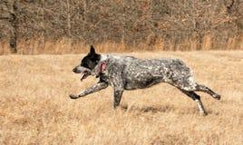 Boczny widok Teksas Heeler psa bieg przez trawy pole obraz stock