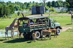 Boczny widok turyści w ciężarowych żywieniowych zwierzętach w safari obrazy royalty free