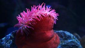 Boczny widok wielki czerwieni ryby łasowania anemon zbiory