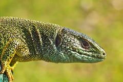 Boczny widok zielonej jaszczurki głowa Obrazy Royalty Free