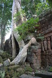 Boddha tree. Tree holding one of the many temples at Siem Reap royalty free stock photos