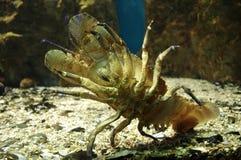 Bodem van een zeekreefthomarus royalty-vrije stock afbeelding