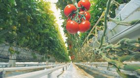 Bodemmening van een hangende tak met een cluster van rijpe tomaten die op het hangen stock footage
