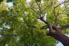 Bodemmening van een kroon van een reusachtige groene boom Royalty-vrije Stock Foto