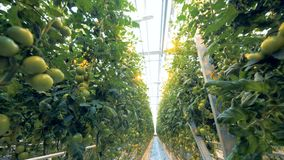 Bodemmening van een serre` s plafond en een tomaten` aanplanting die daarin worden gekweekt stock video