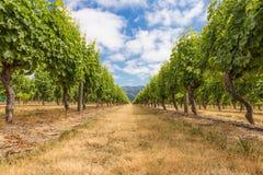 Bodemmening van lijnen van druiven bij een wijngaard Stock Foto's