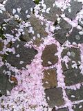 Boden, der mit gefallener Kirschblume gebadet wird Stockbilder