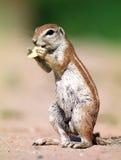 Boden-Eichhörnchen Stockbild