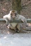 从Bodensee,年的猴子2013年 库存图片