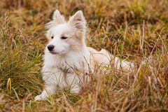 Boder Collie walking in a field. In Russia Royalty Free Stock Image