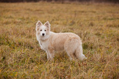 Boder Collie walking in a field. In Russia Royalty Free Stock Photos