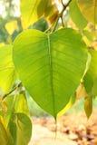 Bodh Leaf Stock Images