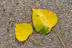 Bodh tree leaves Stock Photography