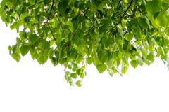 bodhi叶子peepal结构树 库存图片