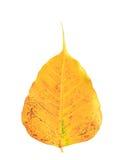 Bodhi在白色背景隔绝的叶子静脉 库存照片