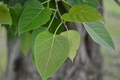 Bodhi或Peepal从与阳光的Bodhi树生叶 免版税库存图片
