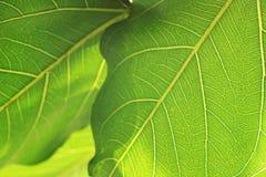 Bodhi或Peepal叶子抽象背景  免版税图库摄影