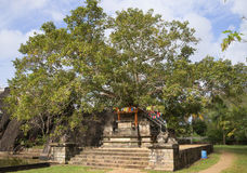 Bodhi树在宫殿Isurumuniya Anuradhapura,斯里南卡 图库摄影