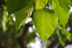 从Bodhi树的Bodhi或Peepal叶子与bokeh 免版税图库摄影