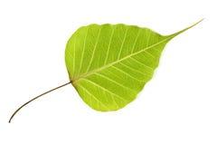 Bodhi结构树叶子 免版税库存照片