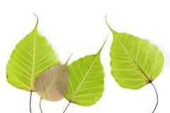 Bodhi结构树叶子 库存图片
