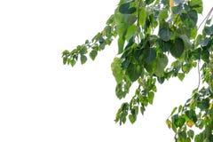 Bodhi绿色在白色背景的叶子树 图库摄影