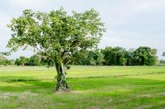 Bodhi结构树 库存图片