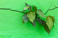 Bodhi崩裂墙壁 库存图片